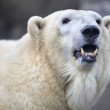 The head of a polar bear female. — Stock Photo #37527757