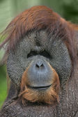 Eye to eye with an orangutan male, chief of the monkey family. — Stockfoto