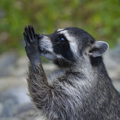 Side face macro portrait of a begging raccoon. — Stock Photo