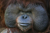 Closeup portrait of an orangutan male, chief of the monkey family. — Stock Photo