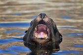 Sea lion with his head above water and open mouth in natural surrounding. — Stock Photo