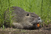A nutria is enjoying some carrot among green grass. — Stock Photo