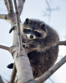 The funny portrait of a raccoon on a tree. Curious look of a washing bear. — Stock Photo