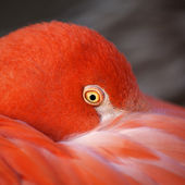 Closeup portrait of a pink flamingo, one of the most beautiful bird of the world. — Stock Photo