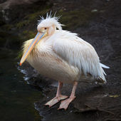 A full length portrait of a pink pelican on dark natural background. — Stock Photo