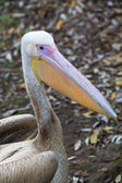 A side view portrait of a young pink pelican on dark natural background. — Stock Photo
