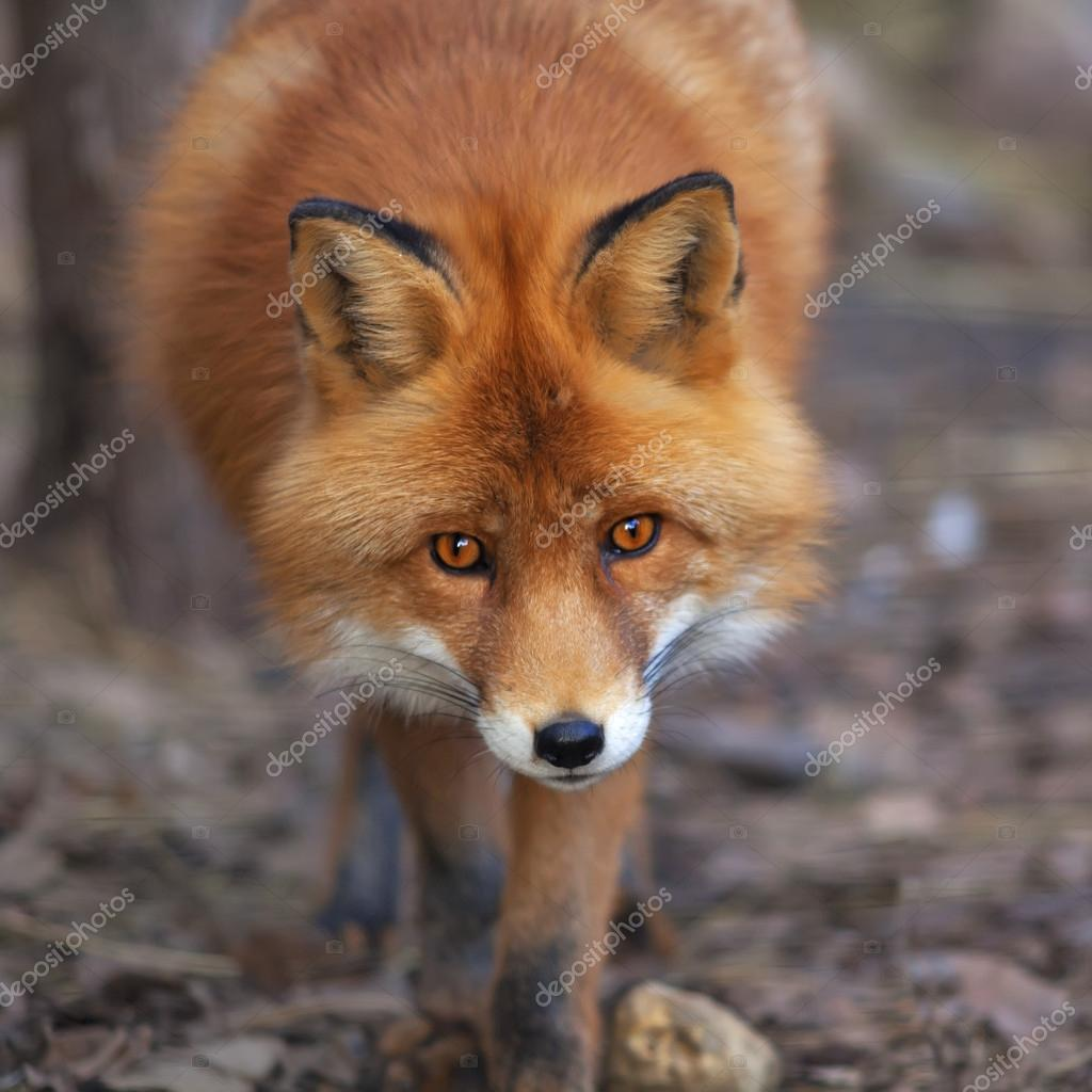 Red fox face close up closeup face portrait of a red fox male in