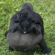 A little rider on his mother back. Gorilla female with her baby. — Stock Photo #37532401