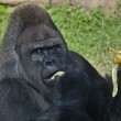 A gorilla male, silverback, leader of monkey family, is eating banana. — Stock Photo #37532499