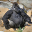 Full-size portrait of a gorilla male, severe silverback, on rock background. — Stock Photo #37533729
