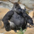 Full-size portrait of a gorilla male, severe silverback, on rock background. — Stock Photo