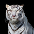 Stock Photo: White bengal tiger on black background.