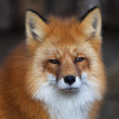 Stock Photo: Face portrait of red fox male, vulpes vulpes.