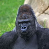 Bust portrait of a gorilla male, severe silverback, on rock background. — Stock Photo