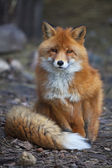 A full length portrait of a posing red fox male in natural environment. — Stock Photo