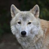 北極のオオカミ男性のクローズ アップの肖像画. — ストック写真
