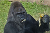 A gorilla male, silverback, leader of monkey family, is eating banana. — Stock Photo