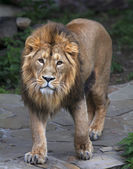 Stare full-size full portrait of a young Asian lion. Vertical image. — Stock Photo