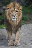 Fullsize portrait of a young Asian lion. Vertical image. — Stock Photo