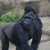 Funny family portrait of gorilla mother with her baby. — Stock Photo