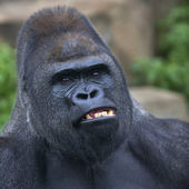 A gorilla male, silverback, leader of monkey family, shows his huge fangs. — Stock Photo