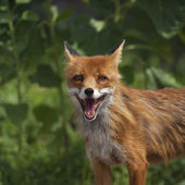 Face portrait of a red fox male with open chaps. — Stock Photo