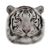 Stare of a white bengal tiger in snowflakes. — Stock Photo