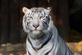 White bengal tiger, posing in a sunny day. — Stock Photo