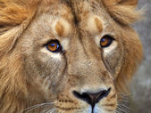 Closeup portrait of the lion head. Eye contact with the young Asian lion. — Stock Photo