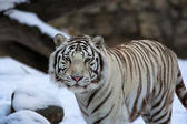 Stare of a calm white bengal tiger in winter forest. — Stock Photo