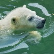 Stock Photo: White bear cub is enjoying in pool.