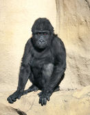 A full lenth portrait of a young gorilla male with demon orange eyes. — Stock Photo