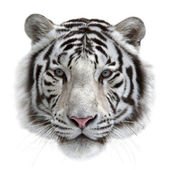 Face of a white bengal tiger, isolated on white background. — Stock Photo