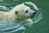 A white bear cub is enjoying in pool. — Stock Photo