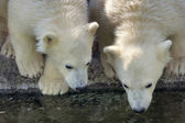 Two polar bear cubs are looking in the water. — Stock Photo