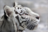 Close up portrait of a white bengal tiger. — Stock Photo