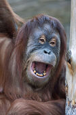 Closeup portrait of a young orangutan female with open chaps. — Stock Photo