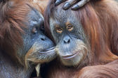 Wild tenderness among orangutan. — Stock Photo