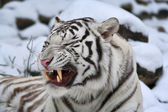 A white bengal tiger shows his huge fangs, lying on fresh snow. — Stock Photo