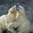 Sibling fighting in baby games. Two polar bear cubs are playing. — Stok fotoğraf