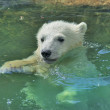 A white bear cub is enjoying in pool. — Stock Photo #38250937