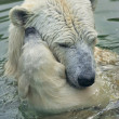 Polar bear mother is bathing her cub in the pool. — Zdjęcie stockowe