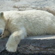 Stock Photo: Polar bear cub is resting.