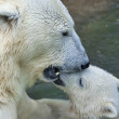 Mother kiss. Polar bear is bathing her cub in pool. — Zdjęcie stockowe