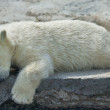 Stock Photo: Sweet dreams of polar bear cub.
