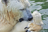 A polar bear mother is kissing her kid in the basin. — Stock Photo