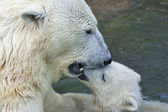 Mother kiss. Polar bear is bathing her cub in pool. — Stok fotoğraf