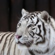 Stock Photo: White bengal tiger on dark background.
