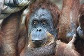 Grandmother of an orangutan family. — Stock Photo