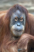 Reading thoughts look of an orangutan female. — Stock Photo